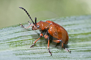 Red Lily Leaf Beetle Bug Insect On Green Leafs Stock Photos - Image: 9745143