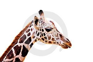 Giraffe On White Royalty Free Stock Photos - Image: 9751218