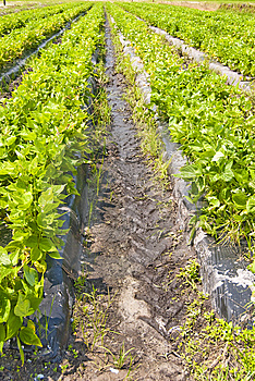 Rows Of Veggies Royalty Free Stock Images - Image: 9753699