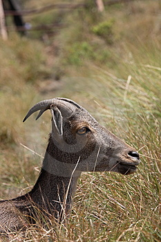 Nilgiri Tahr Stock Photo - Image: 9755860