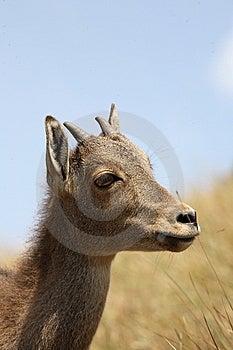 Nilgiri Tahr Sambar Deer Royalty Free Stock Photos - Image: 9756008