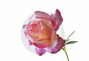 Rose Stock Photography - Image: 9758262