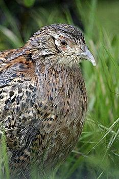 Female Pheasants, Phasianus Colchicus Stock Photography - Image: 9762402