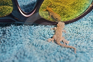 Curious Gecko Royalty Free Stock Photos - Image: 9763568