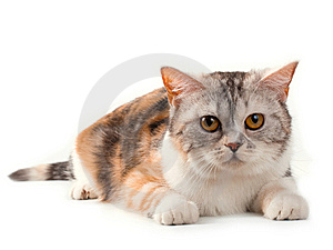 Scottish Straight Tortoiseshell Color Pussycat. Royalty Free Stock Photography - Image: 9769567