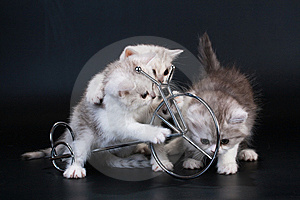 Three Scottish Straight Breed Kittens Near Bycicle Stock Photo - Image: 9769610