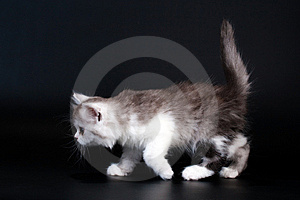 Three Scottish Straight Breed Kitten Walk. Stock Photo - Image: 9769620