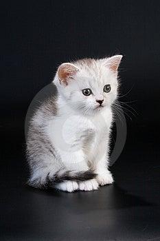 Scottish Straight Breed Kitten Stock Photo - Image: 9769630