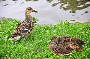 Duck And Ducklings Stock Photo - Image: 9769670