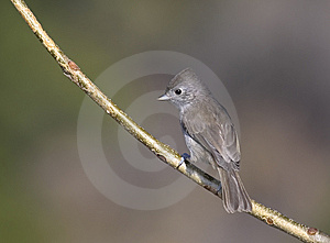 Oak Titmouse Stock Images - Image: 9771054