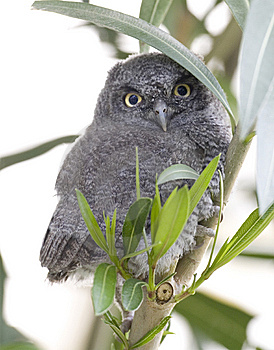 Western Screech Owl Stock Photo - Image: 9771060