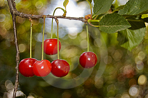 Five Red Cherries On A Branch Royalty Free Stock Images - Image: 9772729