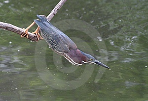 Green Heron Stock Images - Image: 9776854