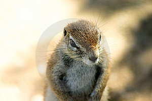 Ground Squirrel Stock Photos - Image: 9787713