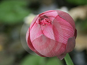 Lotus Bud Royalty Free Stock Image - Image: 9792006