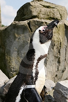 Penguin Up Close Stock Image - Image: 9795521