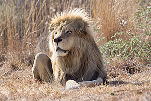 King Of The Wild Stock Images - Image: 9795814