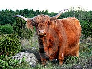 West Highland Cattle Eating Grass Stock Image - Image: 9798151