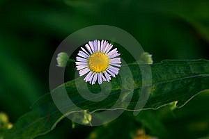 Wild Chrysanthemum Royalty Free Stock Image - Image: 9798276