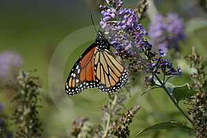 Monarch Stock Images - Image: 981804