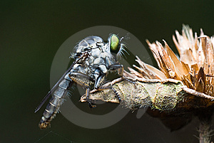Robber Fly In Dark Green Background Royalty Free Stock Photo - Image: 9806445