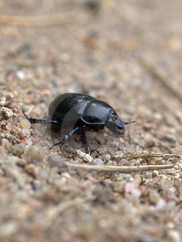 Dung Beetle Stock Images - Image: 9807344