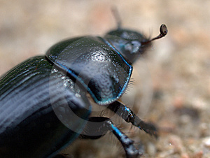 Dung Beetle Back View Royalty Free Stock Photo - Image: 9807445