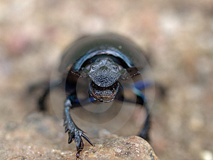 Dung Beetle Stock Image - Image: 9807551