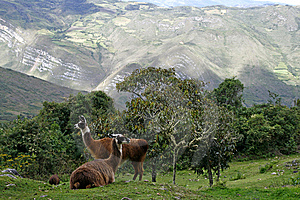 Llamas In The Andes Stock Images - Image: 9809234