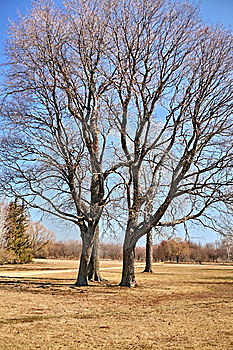 Four Trees As One Royalty Free Stock Photography - Image: 9816397
