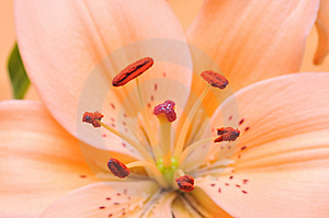 Orange Tiger Lilly Stock Photography - Image: 9817702