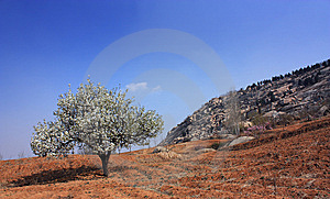 Pear Trees Have Been Flowering Royalty Free Stock Photo - Image: 9820275