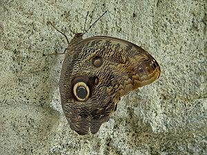 Golden Eye Butterfly Stock Photo - Image: 9827000