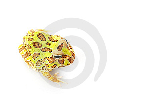 Horned Frog Royalty Free Stock Photo - Image: 9831585