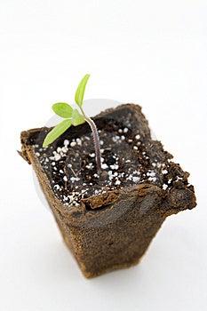 Tomato Seedling Stock Image - Image: 9835731