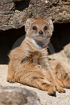 Baby Mongoose Sitting On A Rock Stock Photography - Image: 9836642