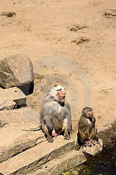 Baboons Watching Humans Stock Photo - Image: 9839740