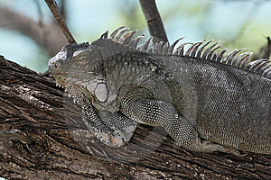 Green Iguana (Iguana Iguana) Royalty Free Stock Photos - Image: 9844458