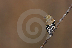 American Goldfinch (Carduelis Tristis Tristis) Stock Image - Image: 9844941