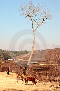 Cows And Tree Royalty Free Stock Image - Image: 9845426