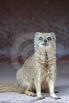 Mongoose Stock Photos - Image: 9847223
