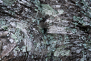 Lichen Royalty Free Stock Photos - Image: 9853578
