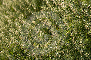 Brome Grass Background Royalty Free Stock Photography - Image: 9853777