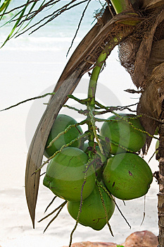 Coconuts Stock Image - Image: 9858441