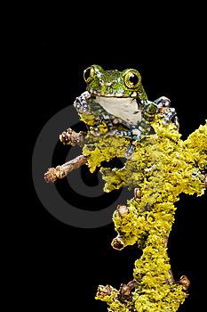 Peacock Tree Frog Stock Photos