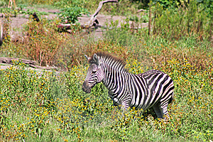 Zebra In South Africa Bushveld Stock Image - Image: 9860531