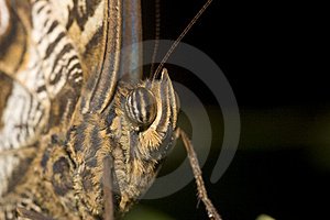 Macro Of Owl Butterfly Royalty Free Stock Images - Image: 9863959