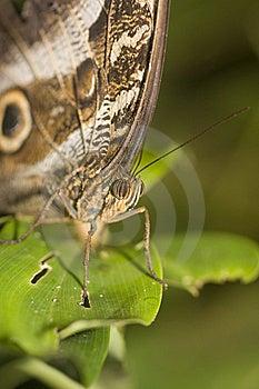 Macro Of Owl Butterfly Stock Image - Image: 9863961