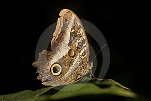 Macro Of Owl Butterfly Royalty Free Stock Photos - Image: 9863968