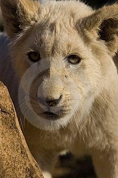 White Lion Cub Royalty Free Stock Images - Image: 9864359